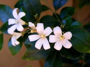 botanical-jasmine